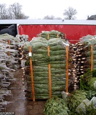 Choinkowy biznes.  Jaką drogę przebywa drzewko od plantacji do salonu?