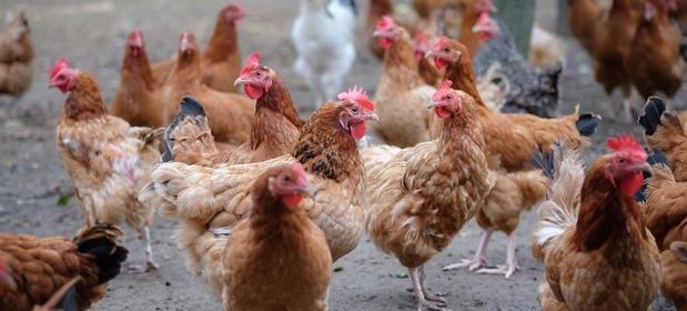 Polska Meat jest największym europejskim eksporterem kur. Za granice wysyła miesięcznie blisko 6 tys. ton.