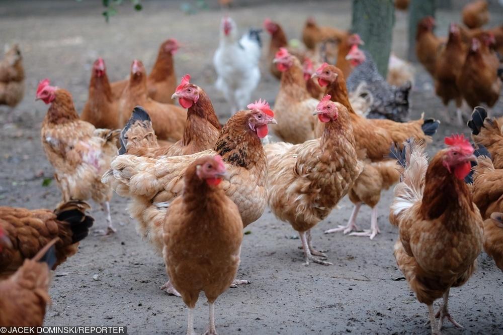 Polska Meat chce budować markety w Afryce. Już eksportuje tam tony drobiu