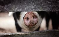 Świński wirus zagraża polskiej branży mięsnej. ASF nie przestaje się rozprzestrzeniać