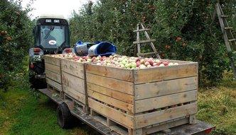Po maśle i jajkach czas na jabłka. W rok podrożały o 89 proc.