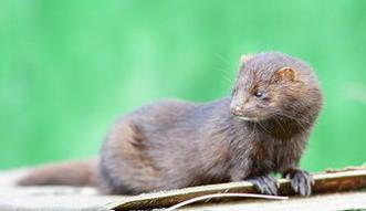 Koniec z hodowlą zwierząt na futra w Polsce? Ta zmiana będzie kosztowała miliony