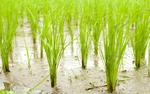Jak technologia kosmiczna i sensoryczna może pomóc zwiększyć produkcję ryżu