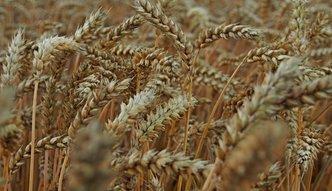 Rolnicy nie chcą sprzedawać zbóż. Cena za niska